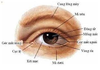 Tìm hiểu về cơ chế hoạt động và cấu tạo của mắt